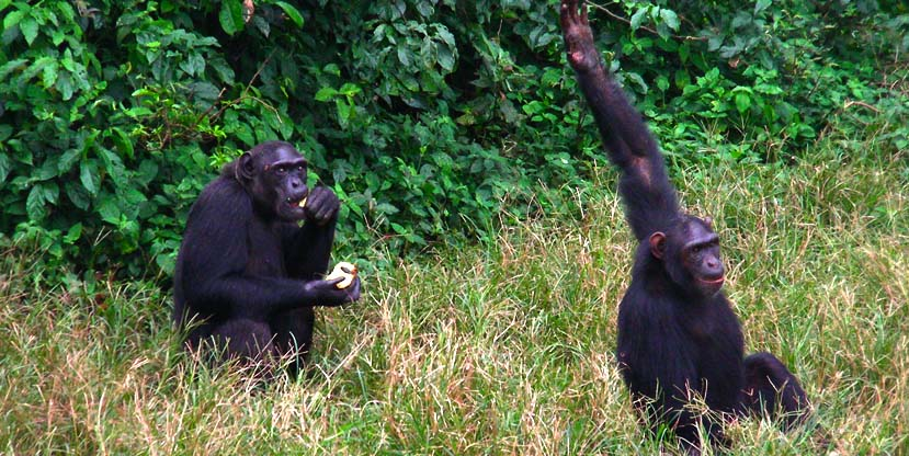 1 day ngamba island chimp tour - ngamba island chimpanzee sanctuary