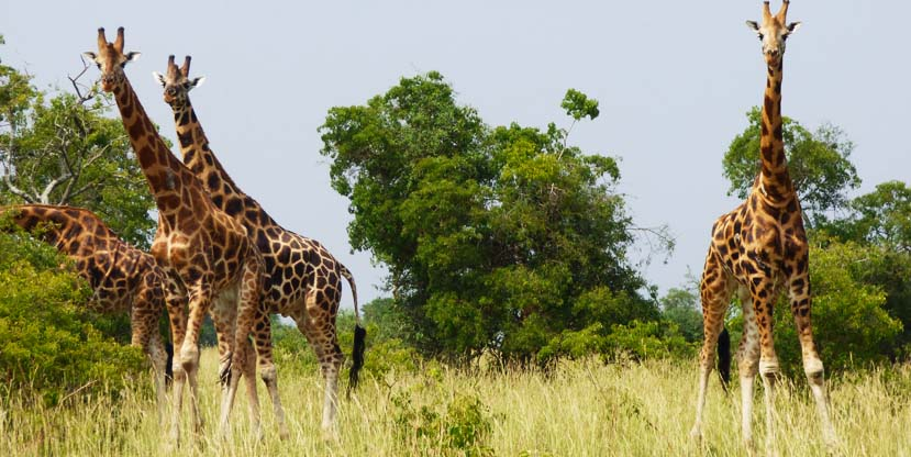 2 days Murchison falls safari - giraffes Uganda