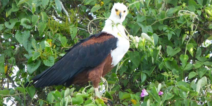 4-days-birding-rwanda-african-fish-eagle