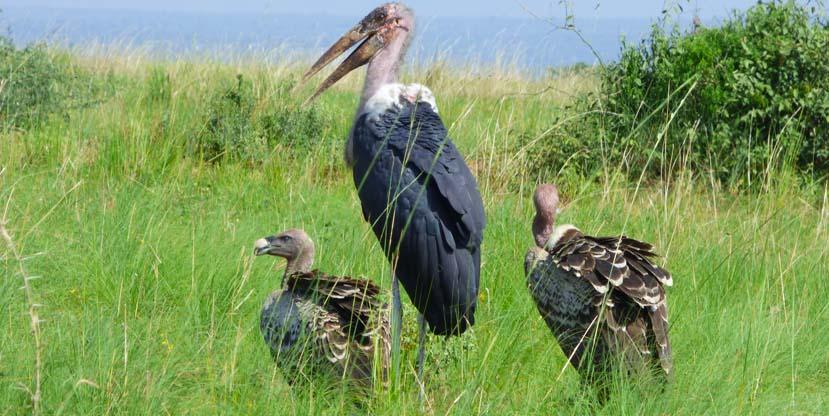 birding-uganda-rwanda-yellow-billed-stork