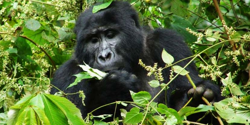 3 Days Gorilla Tracking Bwindi forest | Gorilla trek safari in Uganda - Gorilla adventure tour