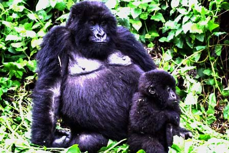 5 Days Gorilla tracking and Queen Elizabeth safari