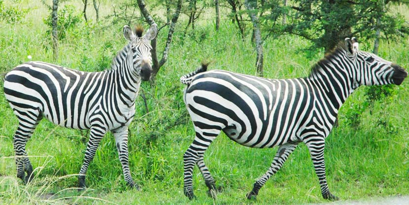 7-days-wildlife-lake-mburo-lake-bunyonyi-zebras-uganda