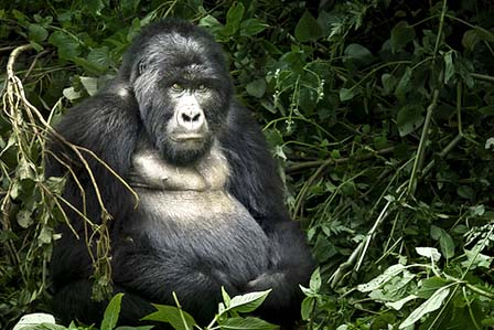 gorilla tracking Bwindi - Gorilla adventure tour