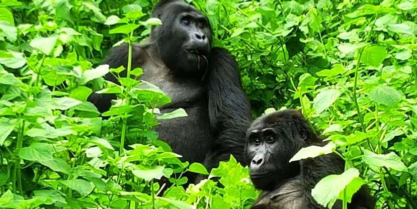gorilla tracking / gorilla trekking Bwindi - Gorilla adventure tour