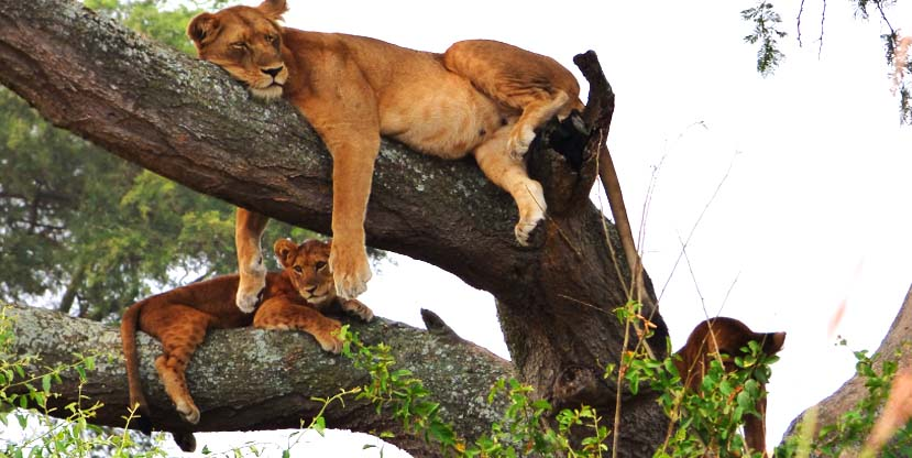 Tree climbing lion in Queen Elizabeth National Park