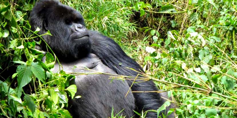 1 Day Gorilla Trekking Bwindi Impenetrable forest