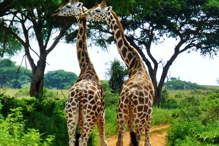 4 Days Murchison Falls and Chimp tracking - 2 Days Murchison Falls Safari - Wildlife tour
