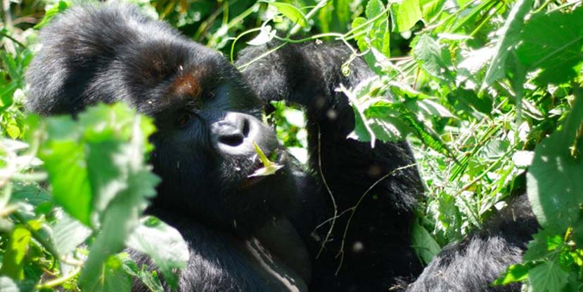5 Days Gorilla Safari Uganda and Rwanda - Mountain Gorilla Tracking Impenetrable Forestin Bwindi