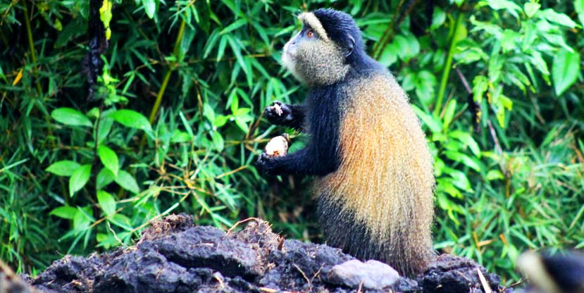 Golden monkey spotted in Parc National Des Volcans