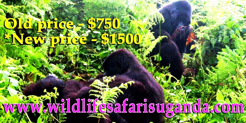 Why Rwanda increases the price of gorilla permits?