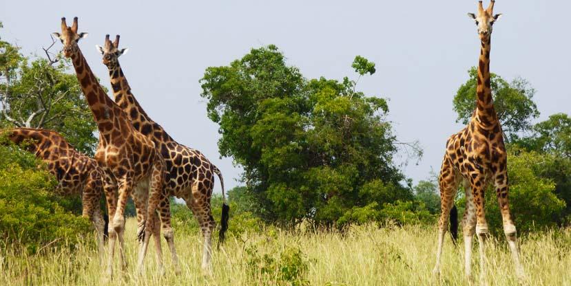 2 days Murchison falls safari - giraffes in Uganda