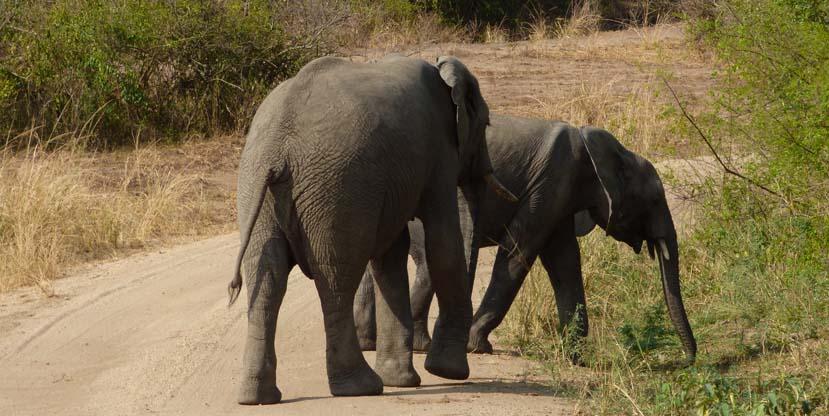 3 days murchison falls safari - elephants in Uganda
