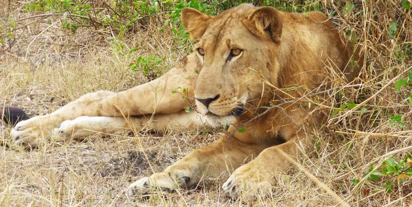 3-days-queen-elizabeth-national-park-tree-climbing-lions