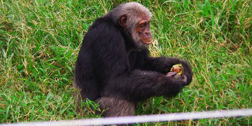 chimpanzee-tracking-safaris-uganda-rwanda-kibale-ngamba