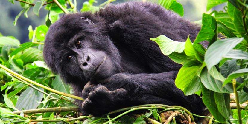 gorilla-trekking-safaris-uganda-rwanda-mountain-gorilla-tracking