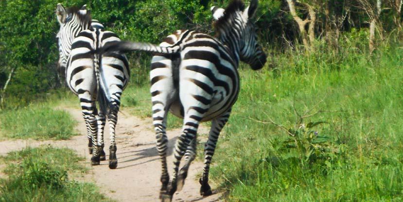1-day-lake-mburo-national-park-zebras-uganda