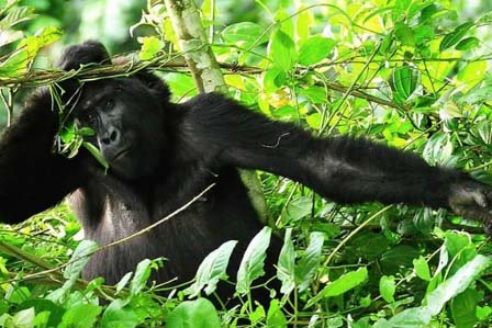 gorilla tracking rwanda - 3 days-safari trip - African Adventure Travellers