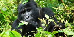 mountain gorilla tracking uganda