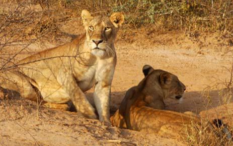 Spotting Lions - Murchison Falls National Park - African Adventure Travellers