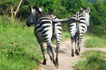 zebras lake mburo - 1 day trip - African Adventure Travellers