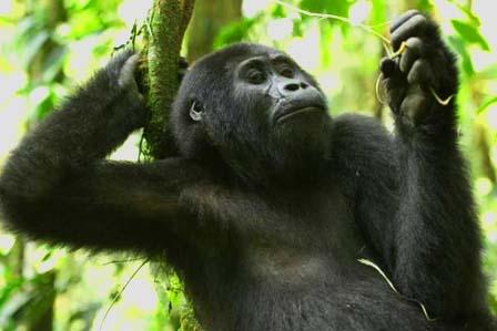 2 Days Gorillas Uganda