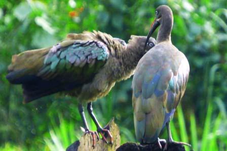 4 days birding Rwanda trip