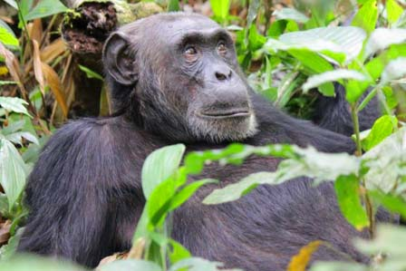 1 Day Ngamba Chimp tour - African Adventure Travellers