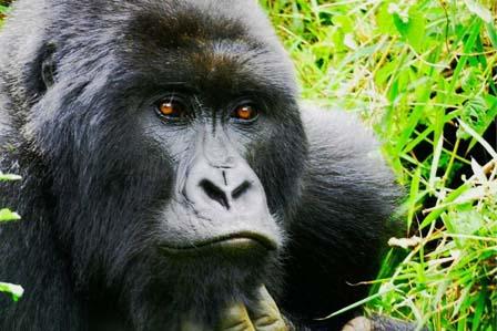 1 Day gorillas Uganda