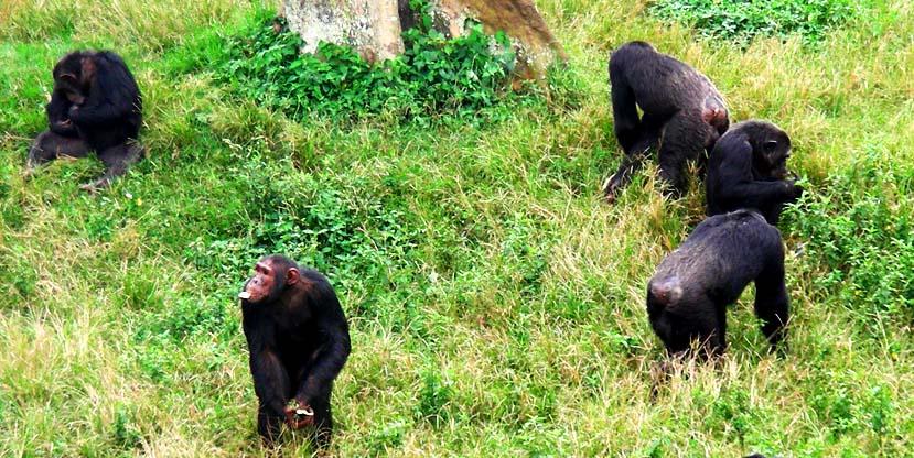 Chimpanzees at Ngamba Island Chimpanzee Sanctuary