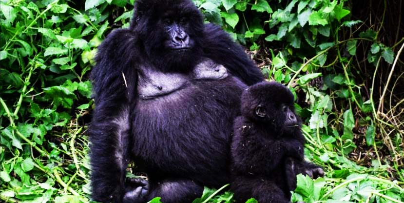 gorillas uganda bwindi impenetrable mgahinga national park