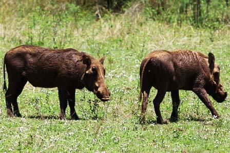 warthogs uganda pumba
