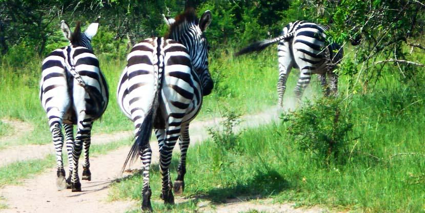 zebras uganda lake mburo national park tour