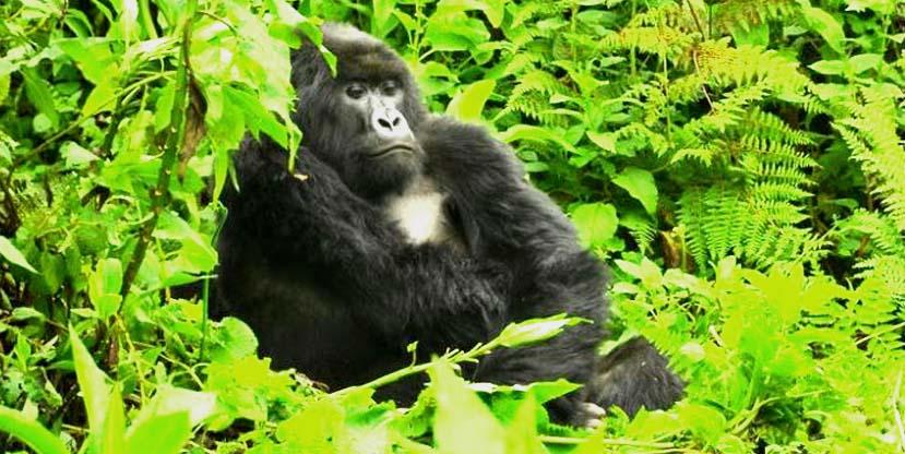 2 Days Gorilla Trekking Bwindi Impenetrable forest