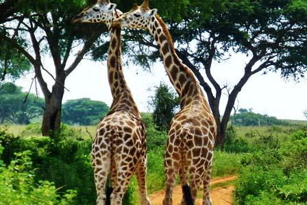 4 Days Murchison Falls and Wildife explore