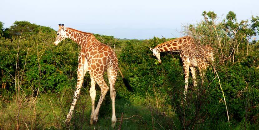 9 days best uganda - Giraffes in Murchison Falls National Park