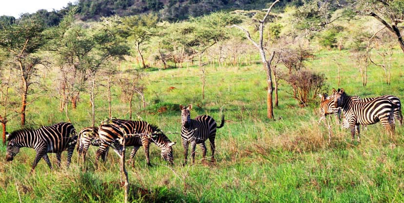 Zebras in Akagera National Park