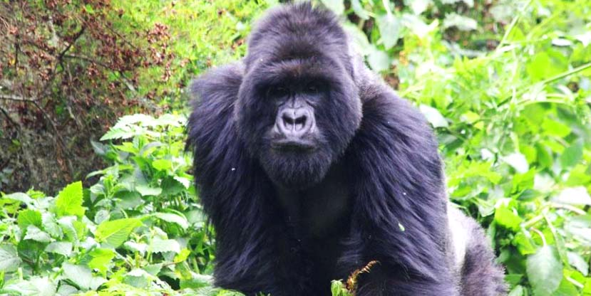 Giant gorilla spotted in Bwindi Impenetrable National Park