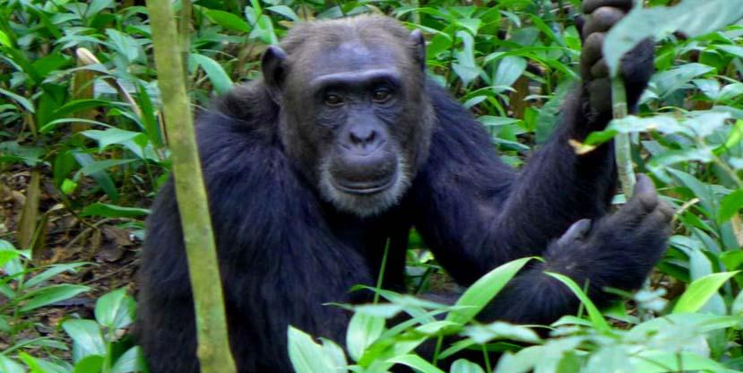 Chimpanzee tracking - Kibale National Park
