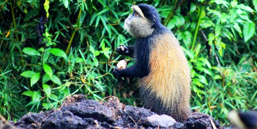 Golden monkey spotted in Parc National Des Volcans