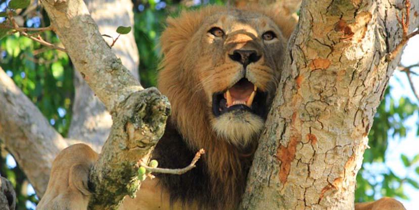 Tree Climbing Lion in Queen Elizabeth National Park