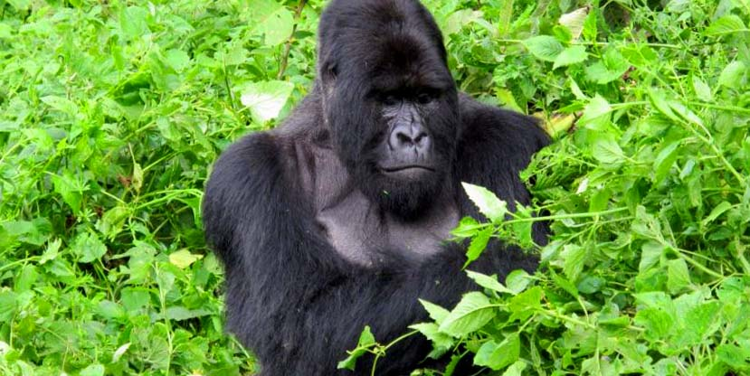 7 Days Gorilla & Chimpanzee tracking Rwanda