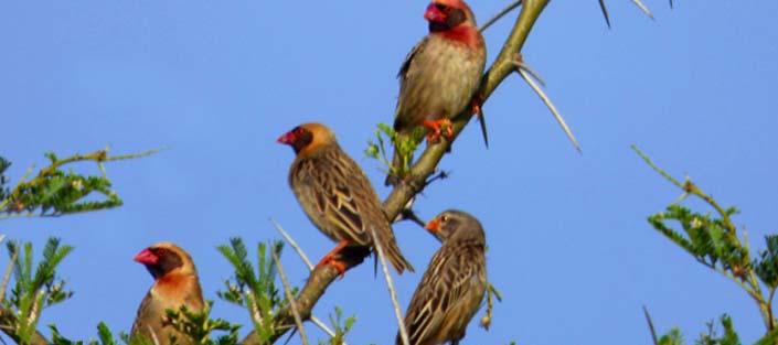 11 Days Birding Uganda Safari