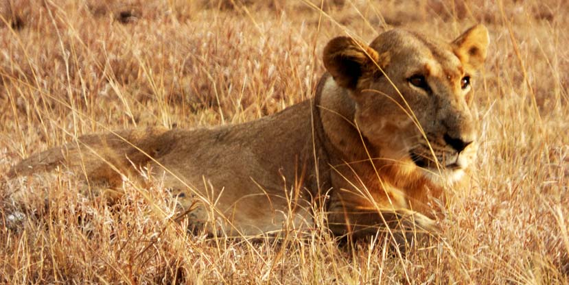 Lion resting in the park, 5 Days Gorilla tracking and Queen Elizabeth safari